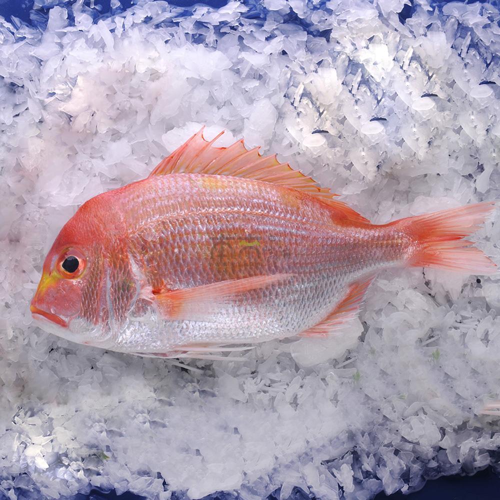 鲷鱼是与日本人十分贴近的鱼类,有真鲷、黄鲷、血鲷等多个品种,鲷鱼刺少肉多,肉质柔软,在日本,金枪鱼和鲷鱼被看作是做刺身的最高级别的鱼类,用新鲜鲷鱼出来的生鱼片味道极鲜美。鲷鱼象征着吉庆之意,在日语中鲷鱼的发音和恭喜最后一个音节相同,因此一般的节庆活动中必要有鲷鱼相佐,一条烤全鲷往往都是在重大的庆典活动上才能吃得到。 黄鲷鱼一般生活在清净的海域,,以海藻类为食, 金黄的底色上覆盖着微红的鱼鳞,鲷鱼常用烹制方法有加盐烤鱼、干炸鱼、清汤、醋腌鱼,新鲜黄鲷做成生鱼片味道一样好吃。黄鲷鱼含丰富的维生素B1、B2和